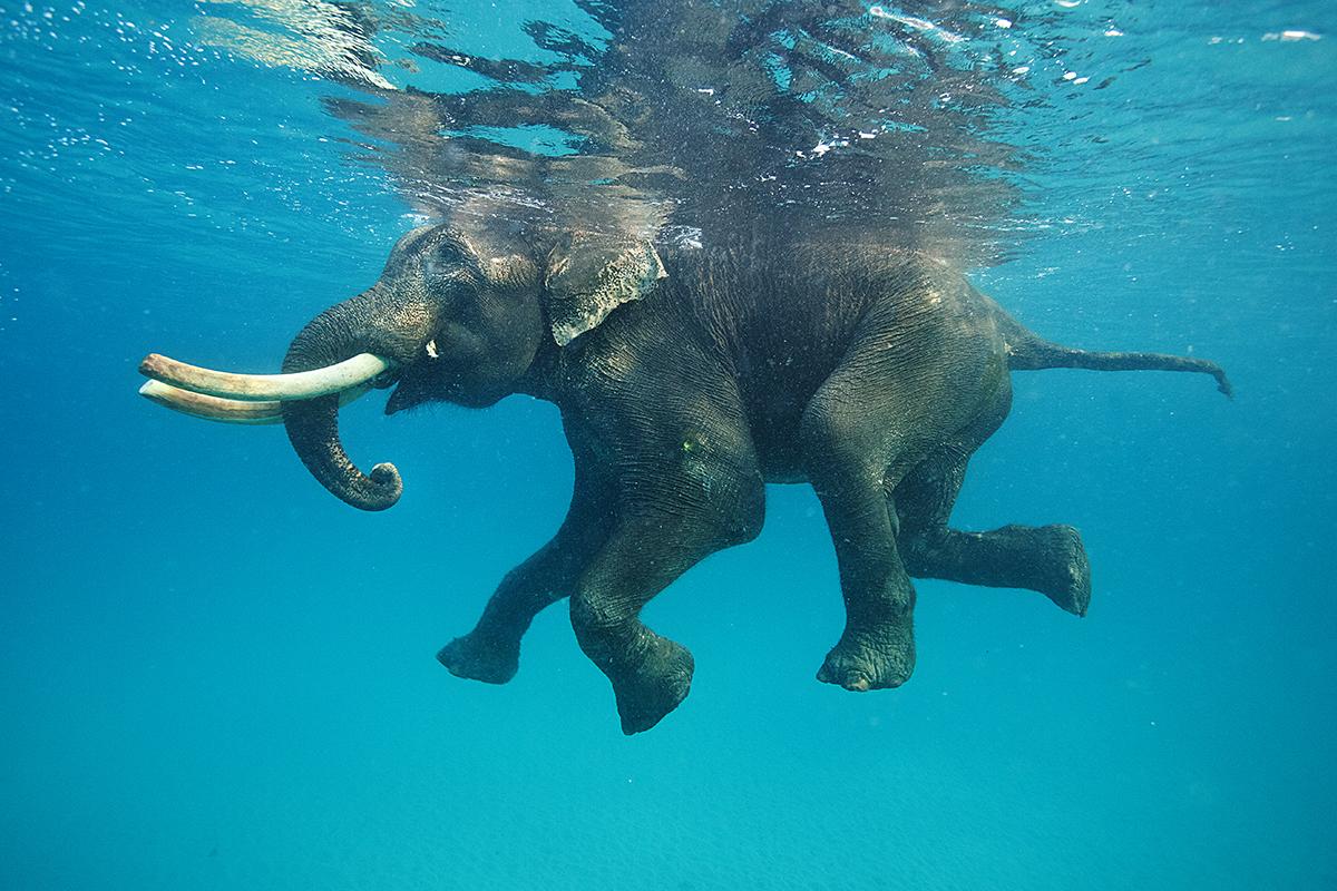 Fond d'écran : Quand l'éléphant Rajan s'offre une baignade